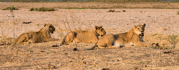Three Lionesses