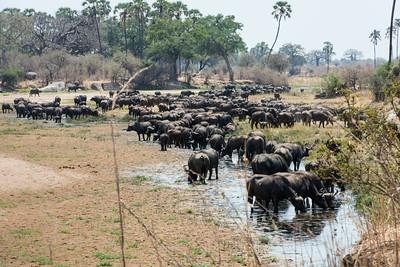 Herd of Bufallo