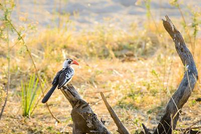 Red-billed Hornbill, Ruaha