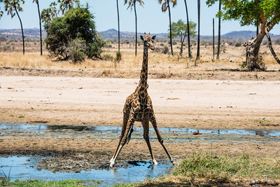 Giraffe at Water Hole