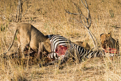 Lions feeding on Zebra