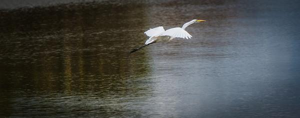 Intermediate Egret, Selous Reserve