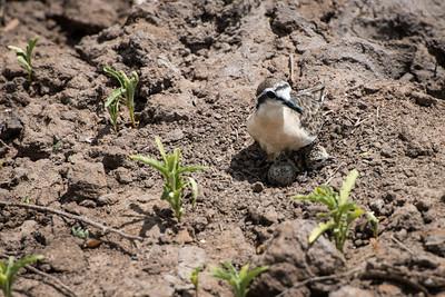 Kittlitz's Plover (Female), Egg and Baby.