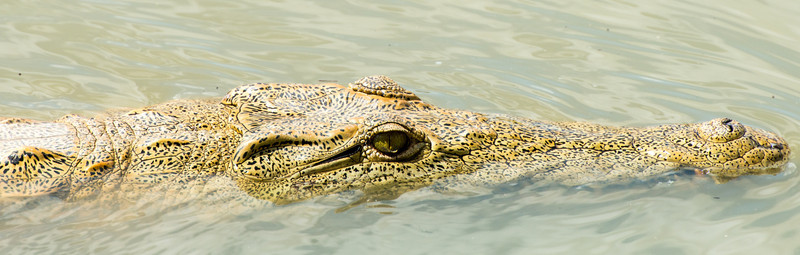 Crocodile, Selous Reserve