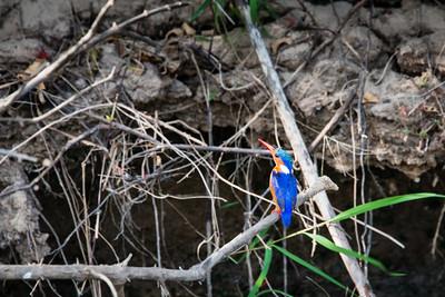 Malachite Kingfisher, Selous