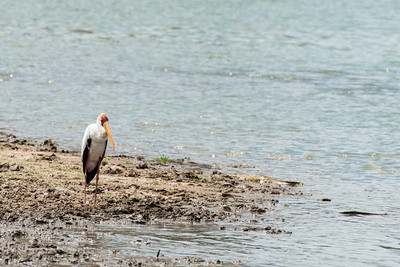 Yellow billed Stork, Selous Reserve