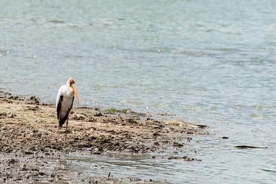 Yellow billed Stork, Selous Reserve