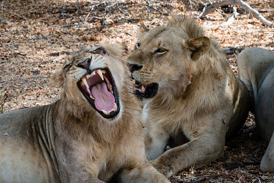 Two lions, Selous