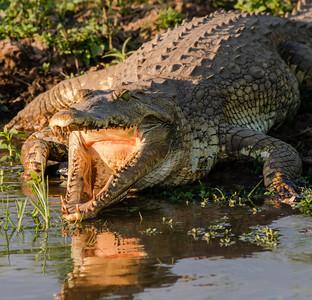 Crocodile, Selous Reserve