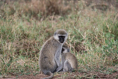 Monkeys, Serengeti