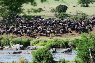Wildebeest waiting to cross the Mara River