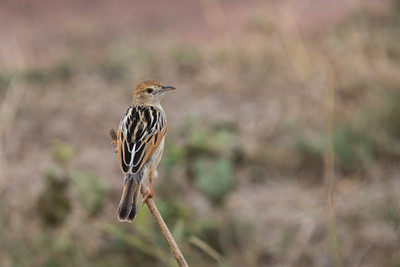 Female Black-backed Cisticola