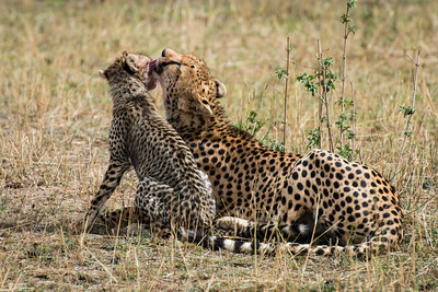 Cheetahs, Serengeti