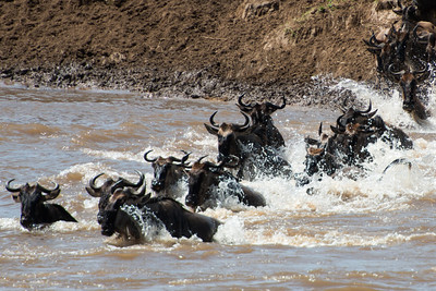 Wildebeest crossing the Mara River, Serengeti