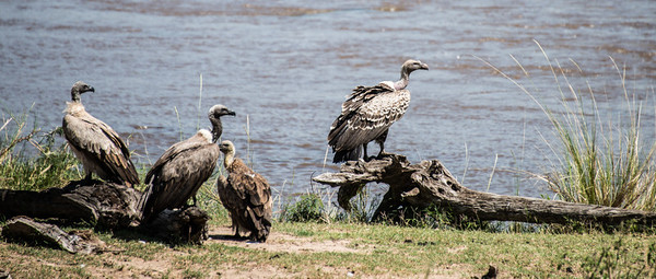 Vultures at the Mara River, Serengeti