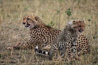 Mother and child, Cheetahs, Serengeti