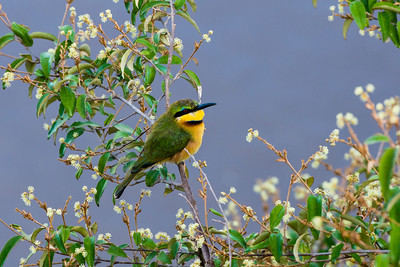 Little Bee-eater, Serengeti