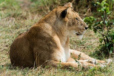 Lionesse, Serengeti