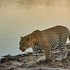 Leopard by Pond