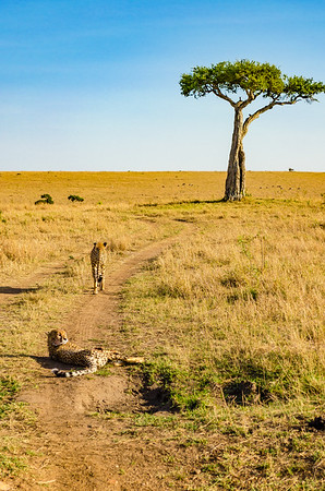 Cheetah and Acacia Tree
