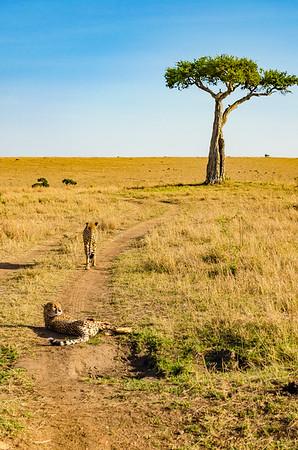 Cheetah and Acacia Tree