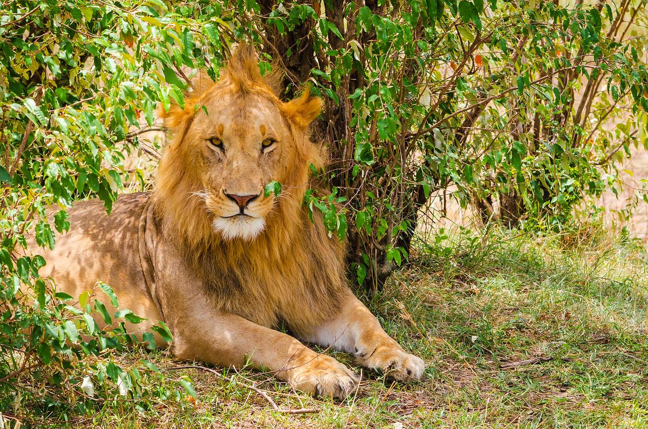 Posing Lion