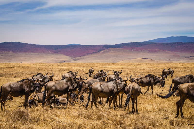 Wildebeest Cattle