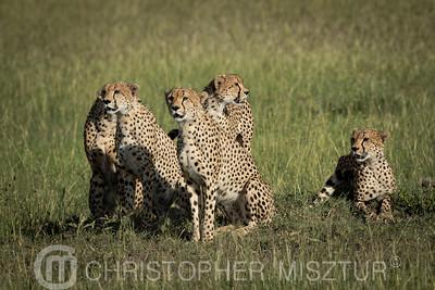 Cheetahs portrait
