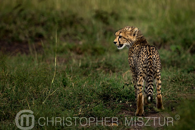 Cheetah cub portrait