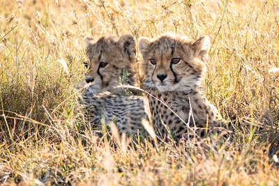Cheetah cubs portrait