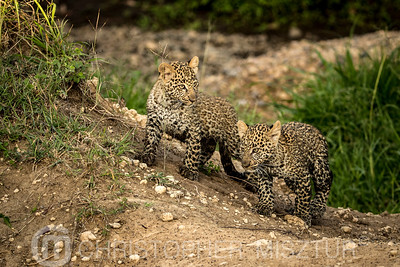 Leopard cubs portrait
