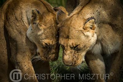 Lioness porteait
