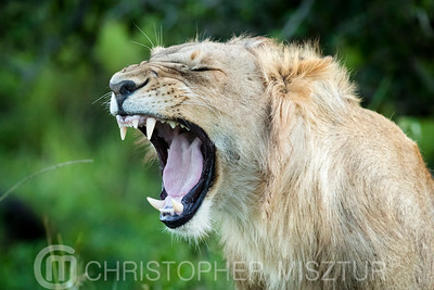 Lion portrait roar