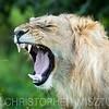 Lion portrait roar