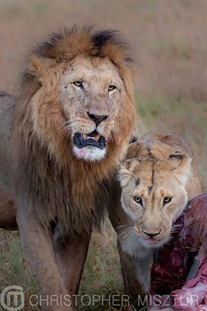 Lions portrait