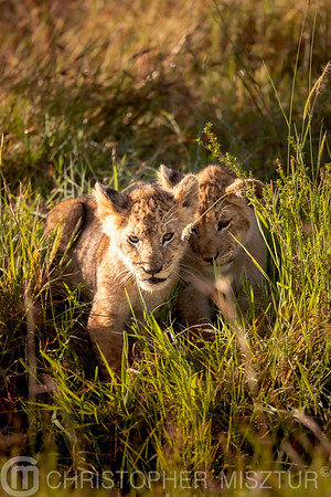 Lion cubs portrait