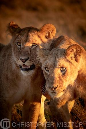 Lionesses portrait