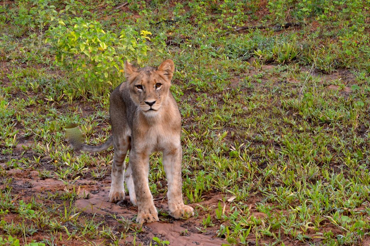 Lion Cub smells Impala