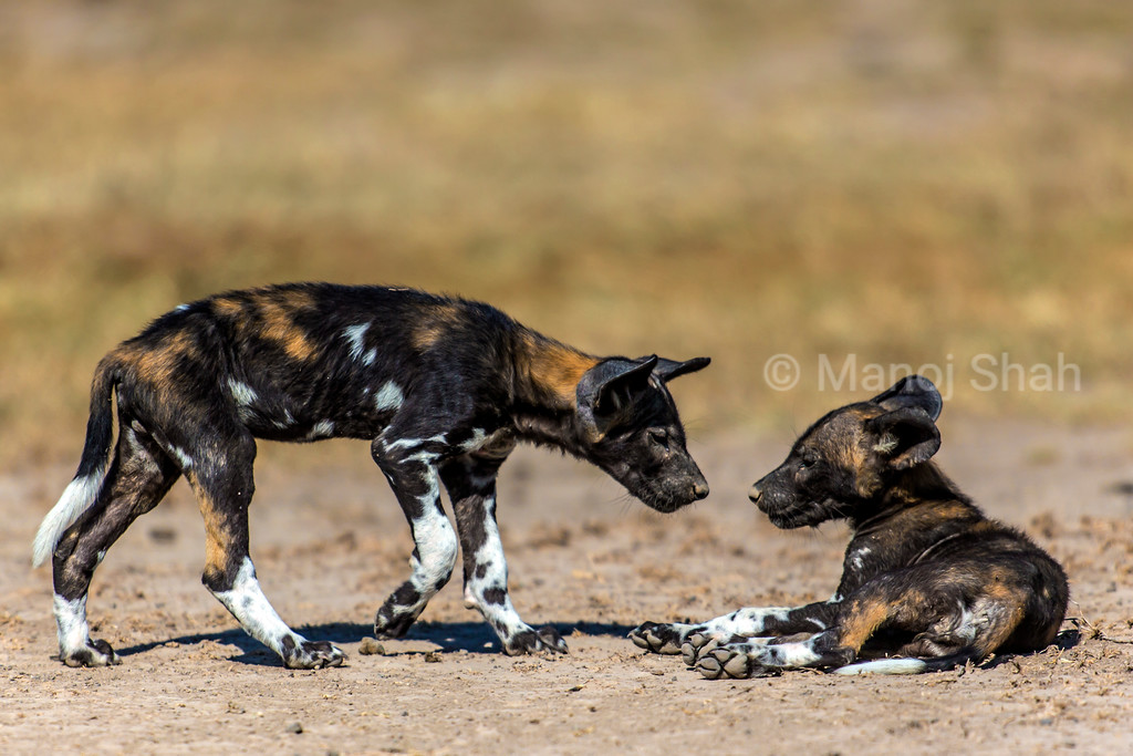 African Wild dog puppies about to greet each other.