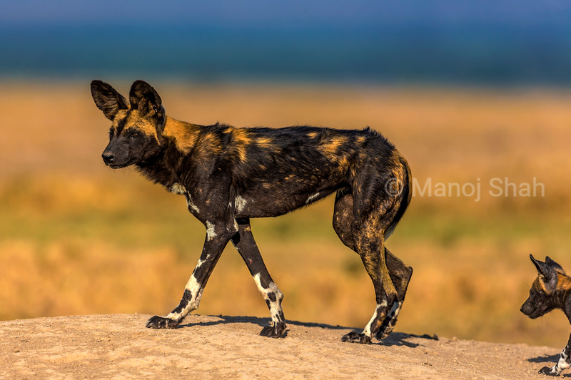 African Wild dog with pup on a mound.
