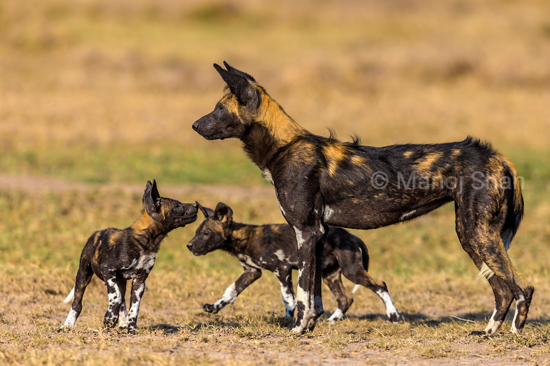 African wild dog with puppies.