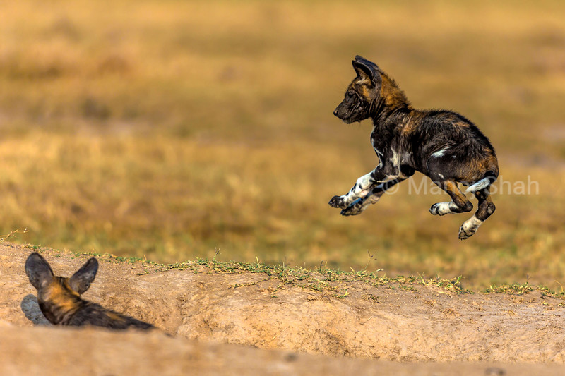 African Wild dog puppy jumping over the den