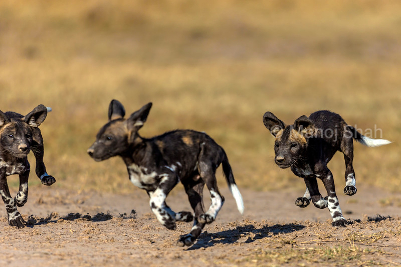 African Wild dog puppies playing.