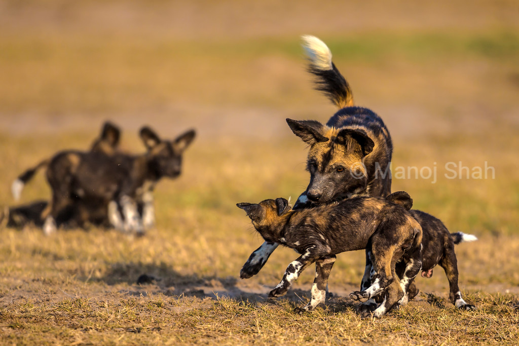 African Wild Dog playing with puppies