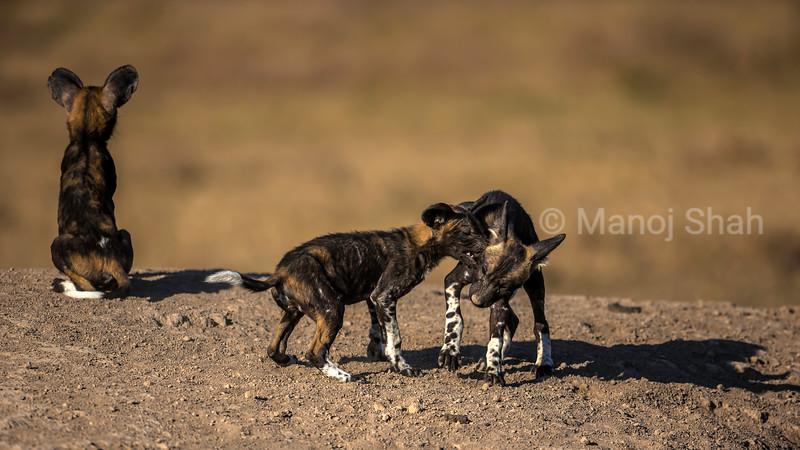 African wild dog Puppies playing at the den  in Laikipia savanna.