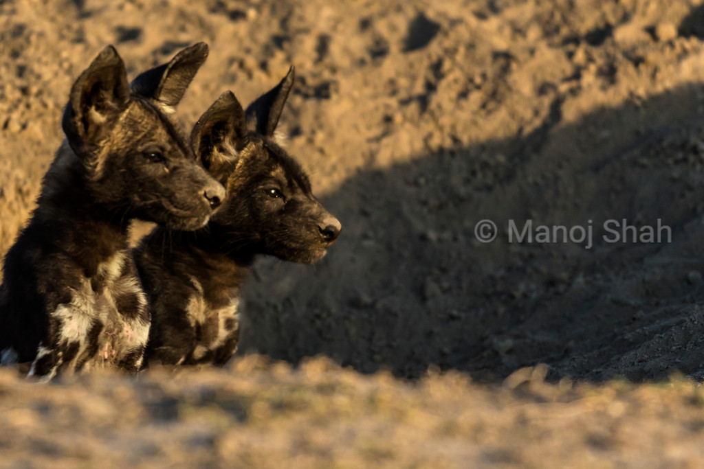 African Wild Dog puppies looking out from their den