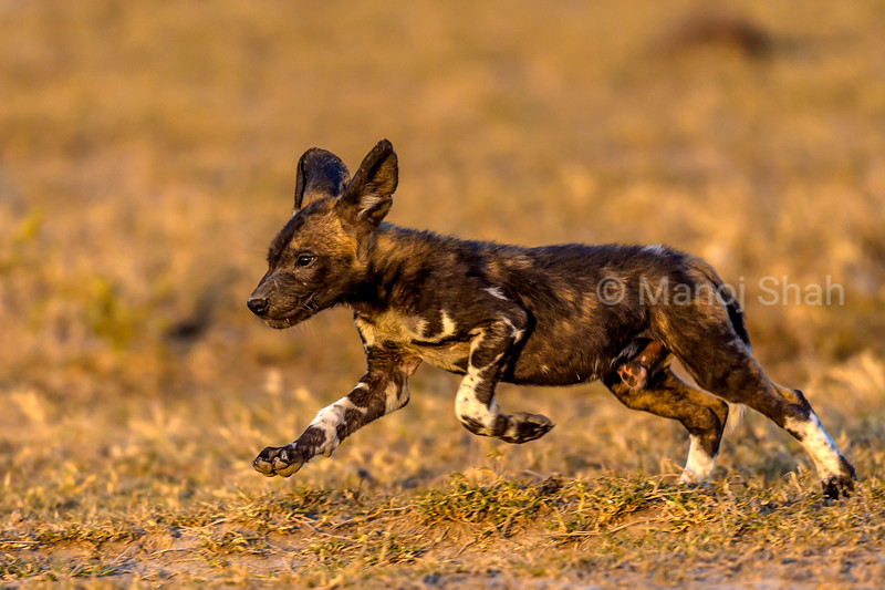 African Wild Dog puppy running