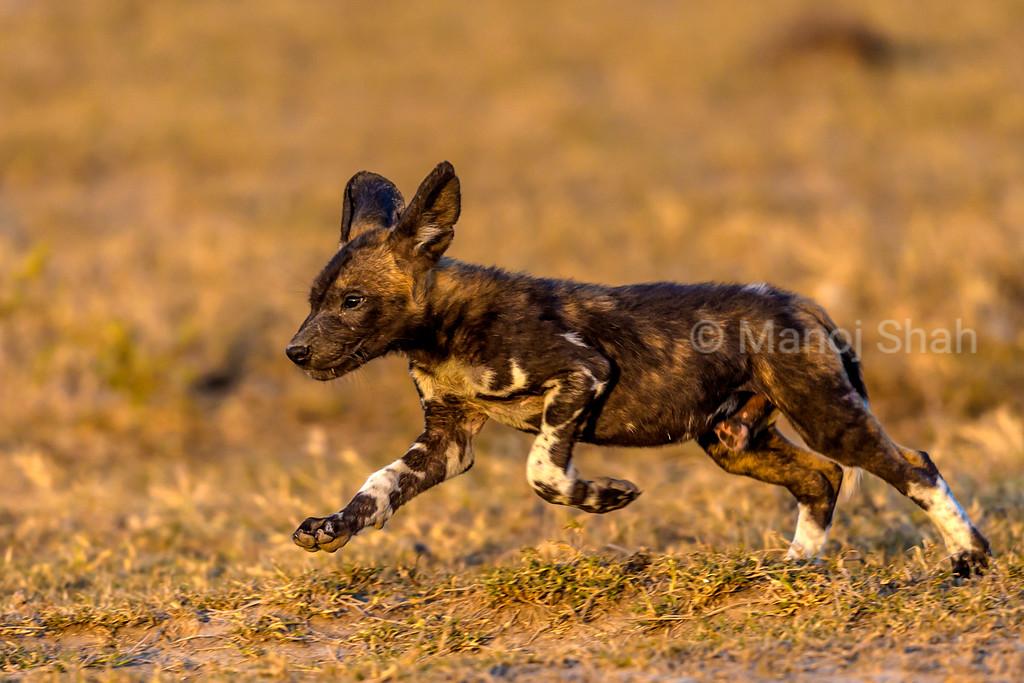 African Wild Dog puppy running