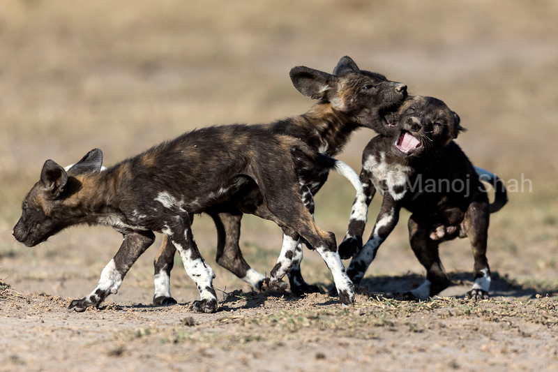 Adult Wild Dog puppies playing.