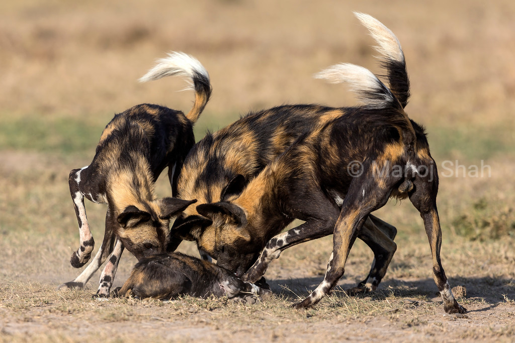 Adult Wild Dog adults  smellimg a puppy.